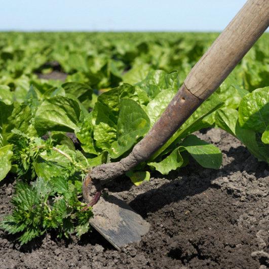 Hoeing soil
